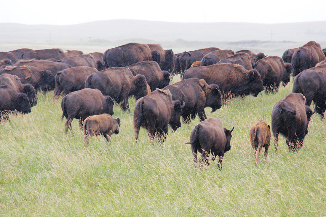 North Dakota Bison
